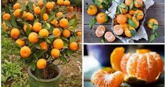 Foarte tare! Cum sa cresti un mandarin la tine acasa!