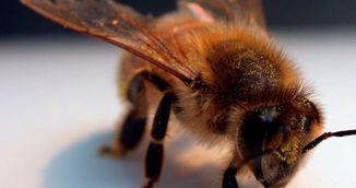 Care sunt beneficiile terapiei cu venin de albine?