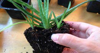 Planta geniala care curata aerul de toxine. Trebuie sa o ai in casa