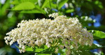 Planta miraculoasa care amelioreaza simptomele respiratorii ale racelii si gripei. Sigur o ai si tu in casa