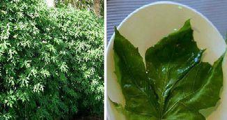 """Se spune ca aceasta planta este """"darul zeilor"""". Poate vindeca peste 100 de boli!"""
